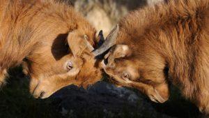 Foto: Zwei behornte, streitende Ziegen