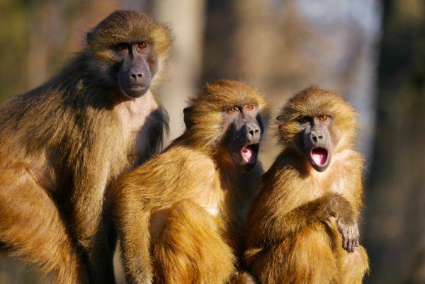 Bild: Empörte Affen