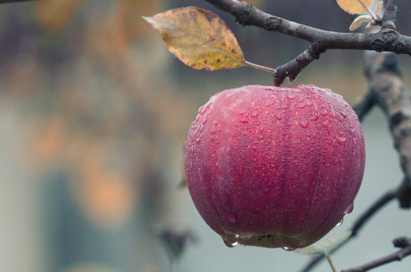 Foto: Roter Apfel (noch am Baum hängend)
