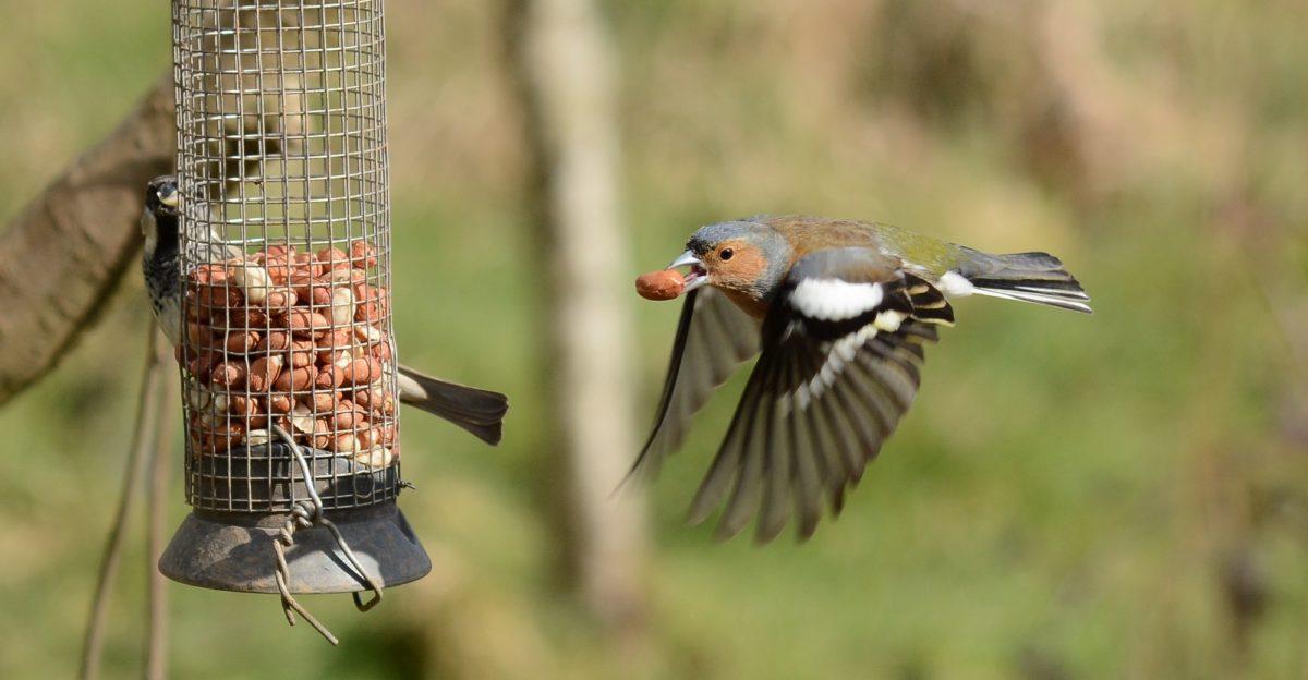 Foto: Fliegender Vogel mit einer Erdnuss im Schnabel