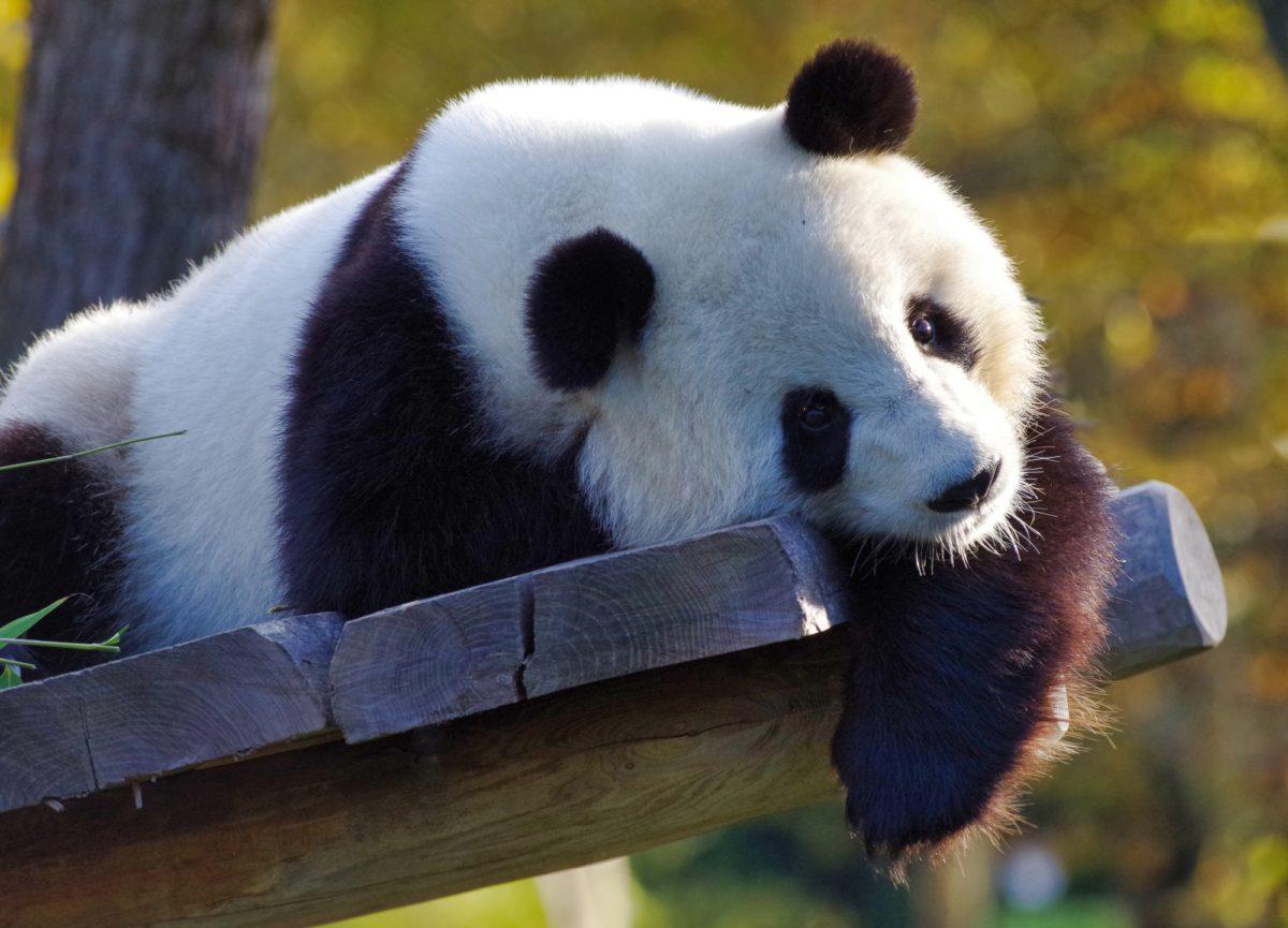 Foto: Liegender Grosser Panda (Riesenpanda)