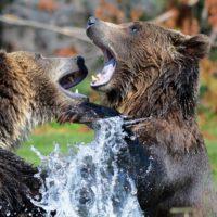 Foto: Spielende Grizzlybären