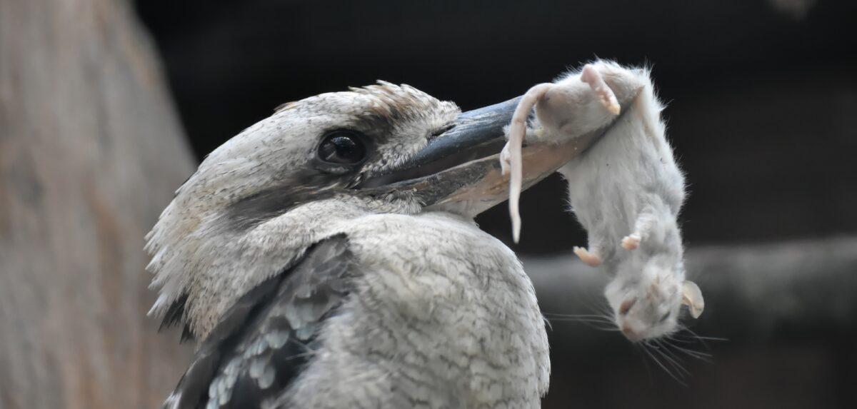 Foto: Vogel mit einer Maus im Schnabel